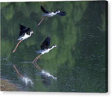 Black-necked Stilts 4302-080917-2cr Canvas Print