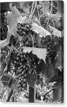 Black Or White Grapes Canvas Print by Dorothy Berry-Lound