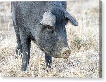 Canvas Print featuring the photograph Black Pig Close-up by James BO Insogna