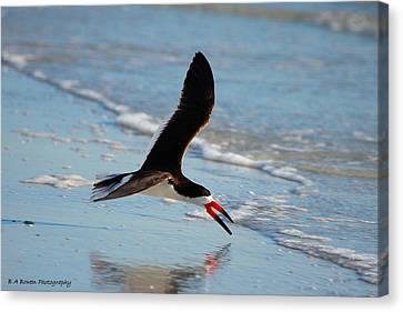 Black Skimmer Canvas Print