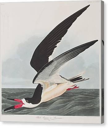 Swoop Canvas Print - Black Skimmer Or Shearwater by John James Audubon