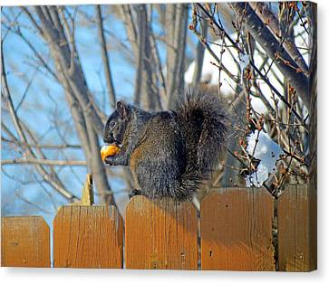 Black Squirrel Eating Corn On The Cob Canvas Print by Kay Novy