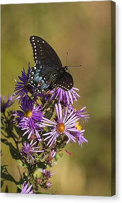 Black Swallowtail And Aster 2013-1  Canvas Print by Thomas Young