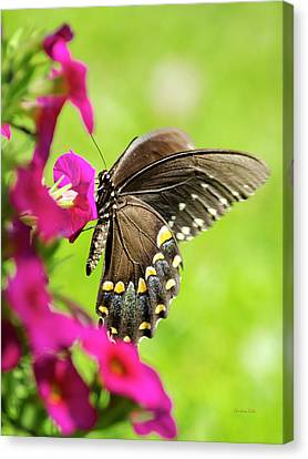 Canvas Print featuring the photograph Black Swallowtail Butterfly by Christina Rollo
