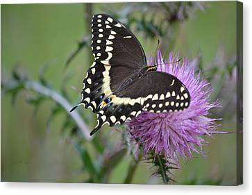 Black Swallowtail Butterfly - Papilio Polyxenes 1 Canvas Print