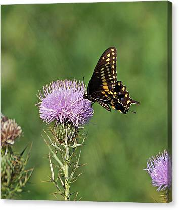 Canvas Print featuring the photograph Black Swallowtail Butterfly by Sandy Keeton