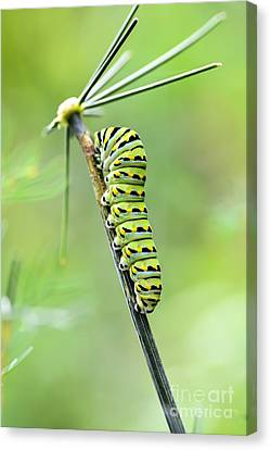 Black Swallowtail Caterpillar Canvas Print by Debbie Green