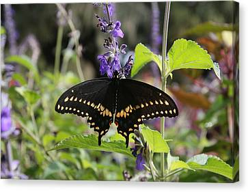 Black Swallowtail Canvas Print