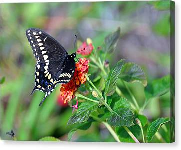 Canvas Print featuring the photograph Black Swallowtail by Kay Lovingood