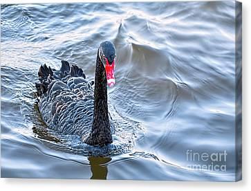 Black Swan 3 Canvas Print by Kaye Menner
