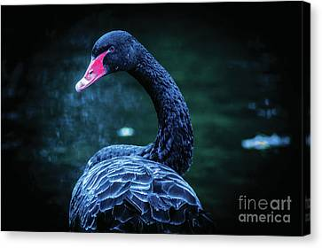 Black Swan Canvas Print