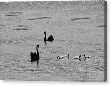 Canvas Print - Black Swans, Tasmania 2015 by Rolf Ashby