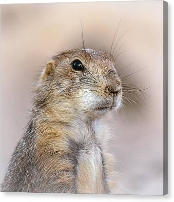 Black Tail Prairie Dog Canvas Print by Elaine Malott