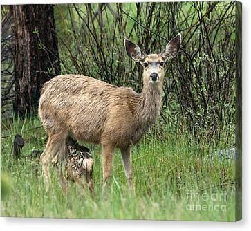 Black Tailed Deer Nursing A Newborn Canvas Print by Dennis Hammer