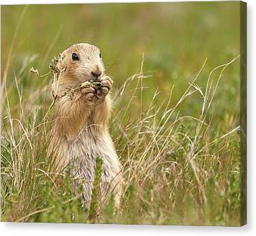 Black-tailed Prairie Dog   Canvas Print