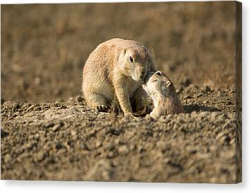 Black-tailed Prairie Dogs In Eastern Canvas Print by Joel Sartore