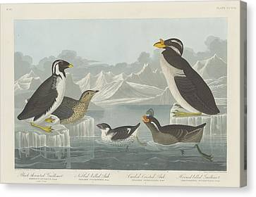 Seagull Canvas Print - Black-throated Guillemot And Nobbed-billed Auk And Curled-crested Auk And Horned-billed Guillemot by Dreyer Wildlife Print Collections