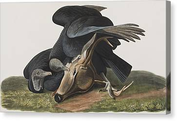 Black Vulture Or Carrion Crow Canvas Print by John James Audubon
