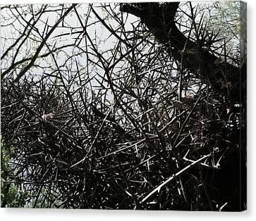 Black Walnut Spikes II Canvas Print by Anna Villarreal Garbis