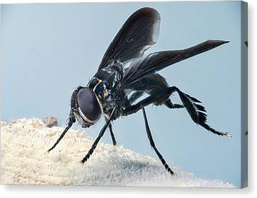 Black Winged Comb Footed Fly 2 Canvas Print