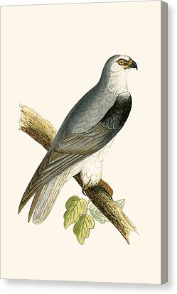Black Winged Kite Canvas Print by English School
