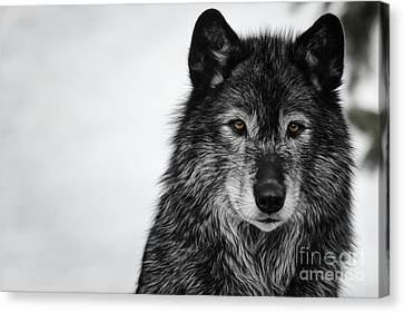 Black Wolf I Canvas Print