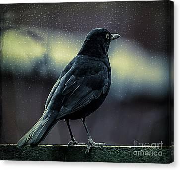 Blackbird Canvas Print by Adrian Evans