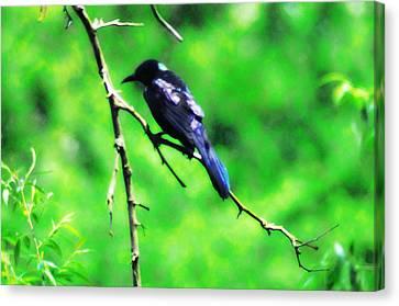 Blackbird Canvas Print by Bill Cannon