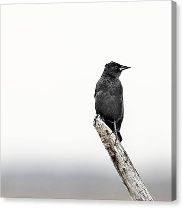 Blackbird Canvas Print by Humboldt Street
