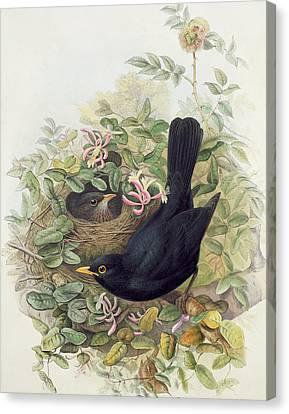 Blackbird Canvas Print - Blackbird,  by John Gould