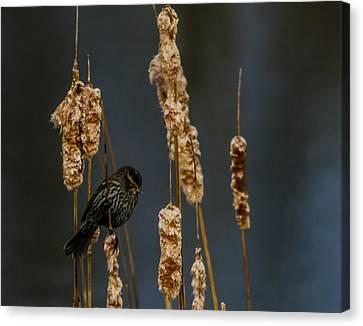 Blackbird On Cattail2 Canvas Print