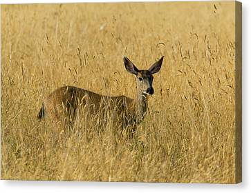 Blacktail Deer In Tall Grass Canvas Print by Randall Ingalls