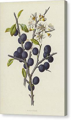 Blackthorn Canvas Print by Frederick Edward Hulme