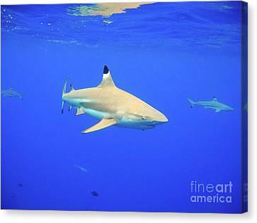 Blacktip Reef Shark Canvas Print