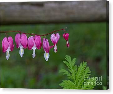 Kathy Rinker Canvas Print - Bleeding Heart With Fern Leaf by Kathleen Rinker
