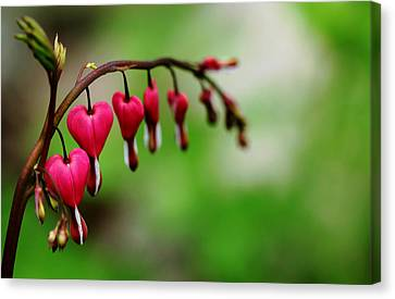 Canvas Print featuring the photograph Bleeding Hearts Flower Of Romance by Debbie Oppermann