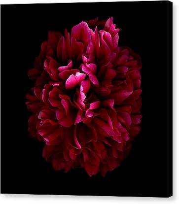 Blood Red Peony Canvas Print