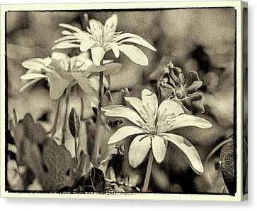 Bloodroot And Vinca Wildflowers - Sepia Canvas Print by Mother Nature