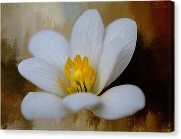 Bloodroot Canvas Print by Diana Boyd