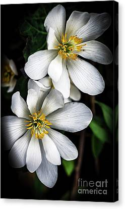 Canvas Print featuring the photograph Bloodroot In Bloom by Thomas R Fletcher