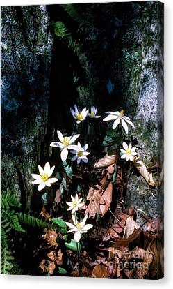 Bloodroot In Sunlight Canvas Print by Thomas R Fletcher