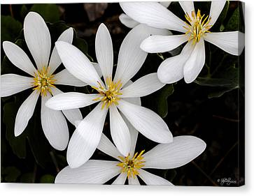Sanguinaria Canvas Print
