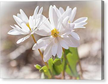 Bloodroot Wildflowers In The Sun - Sanguinaria Canadensis Canvas Print by Mother Nature