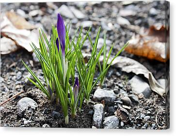 Bloom Awaits Canvas Print by Jeff Severson