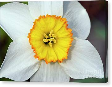 Bloom Of Narcissus Canvas Print by Michal Boubin