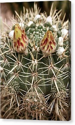 Blooming Cactus1 Canvas Print