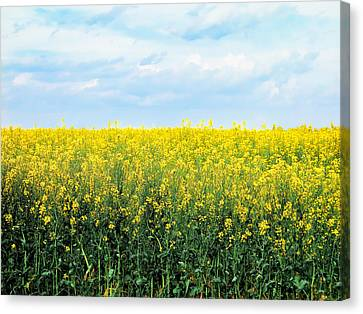 Blooming Canola - Photography Canvas Print by Ann Powell