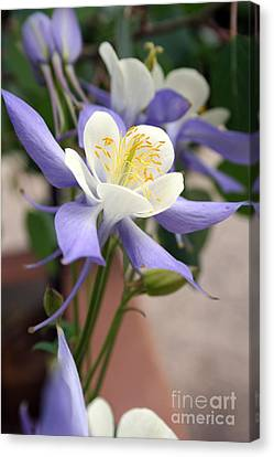 Canvas Print featuring the photograph Blooming Columbine by Andrew Serff