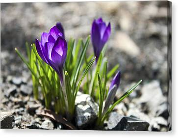 Blooming Crocus #1 Canvas Print by Jeff Severson