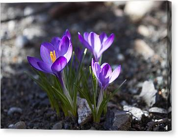 Blooming Crocus #3 Canvas Print by Jeff Severson